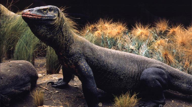 komodo-dragon_wideexact_1230